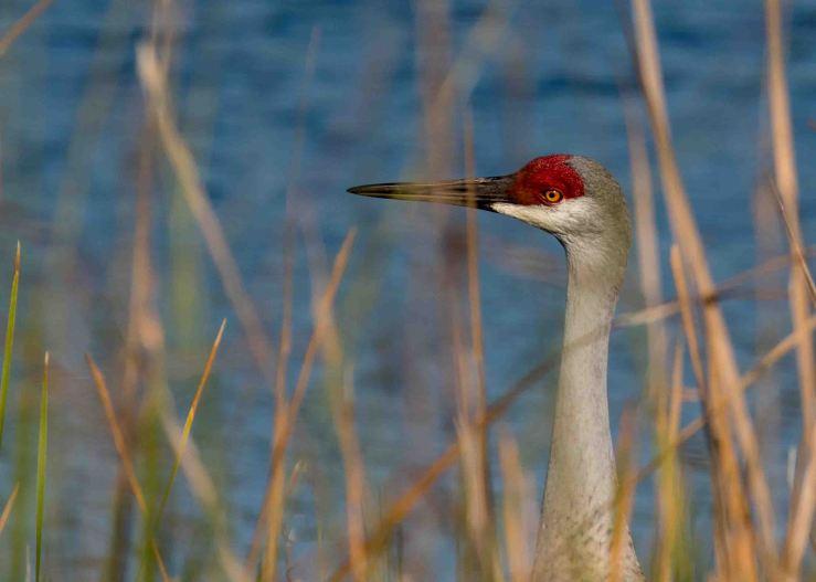 Sandhill through reeds
