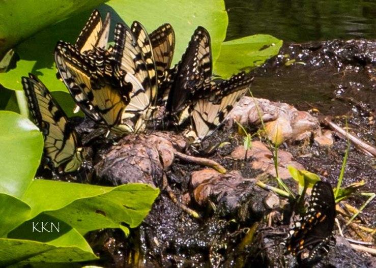 Cluster of Butterflies