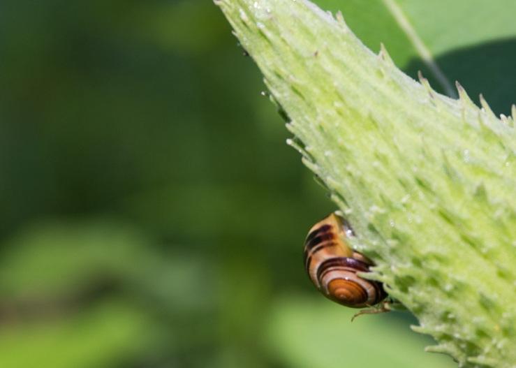 snail on milkweed