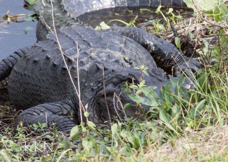 Alligator at 400 from hilltop