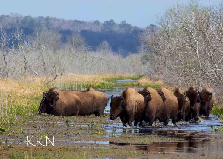 Bison in a row