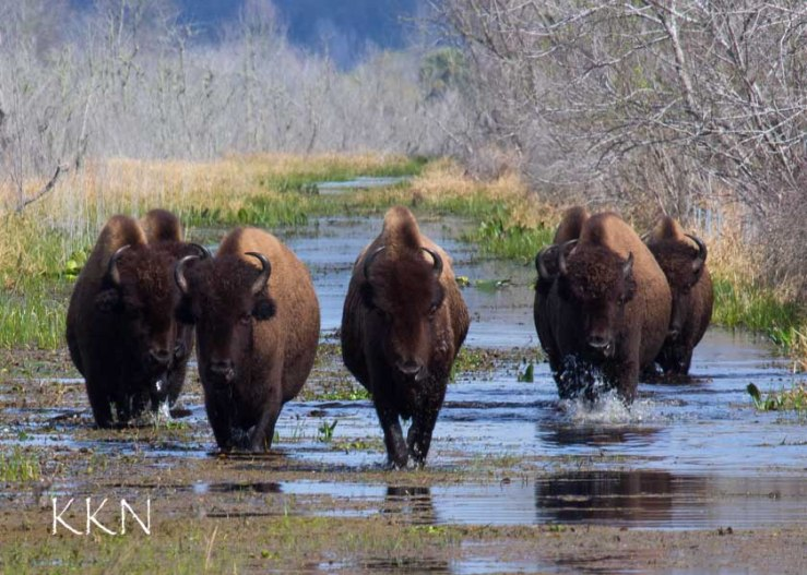 Bison walking at us