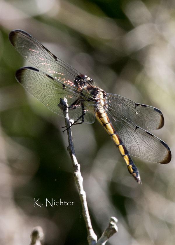 Dragonfly BCP