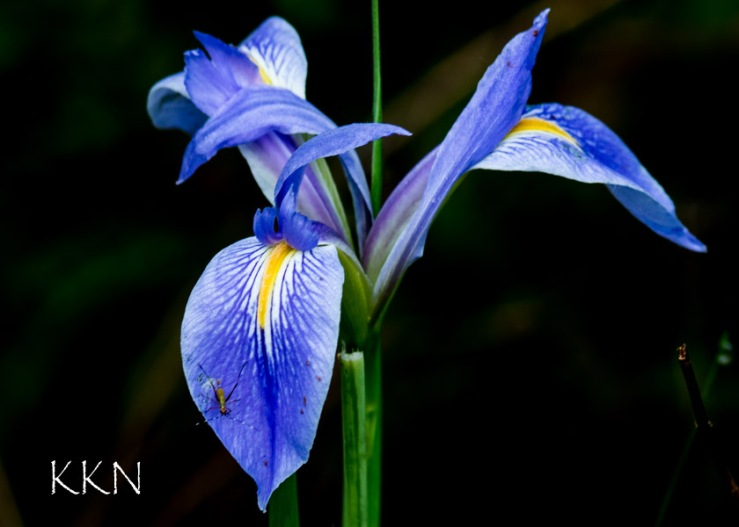 Iris with Insect
