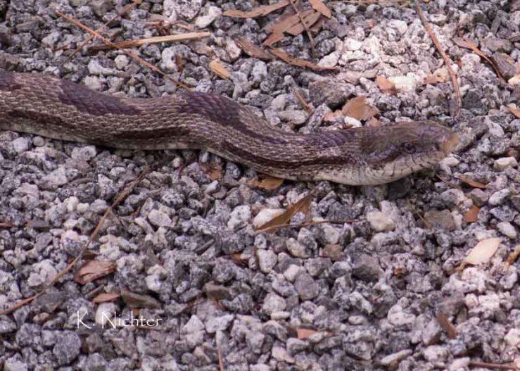 Oak Snake