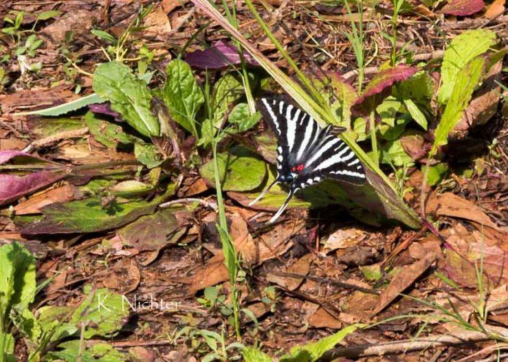 Zebra Swallowtail GA