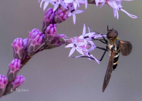 20191013 Pollinator on Blazing Start