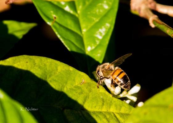 Honeybee covered in Pollen WC