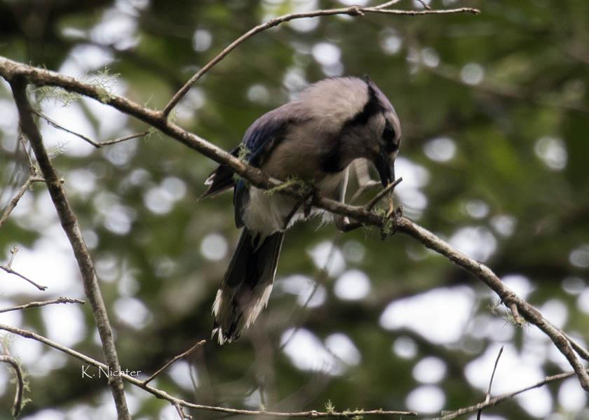 Blue Jay getting twig