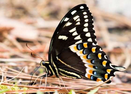 Palamedes Swallowtail Male