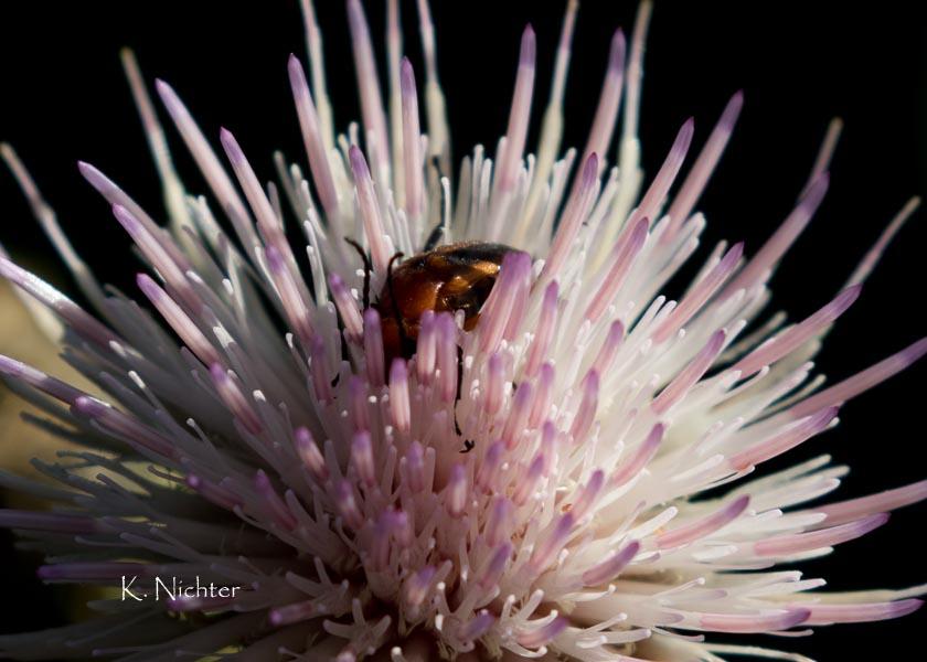 Beetle in the Flower