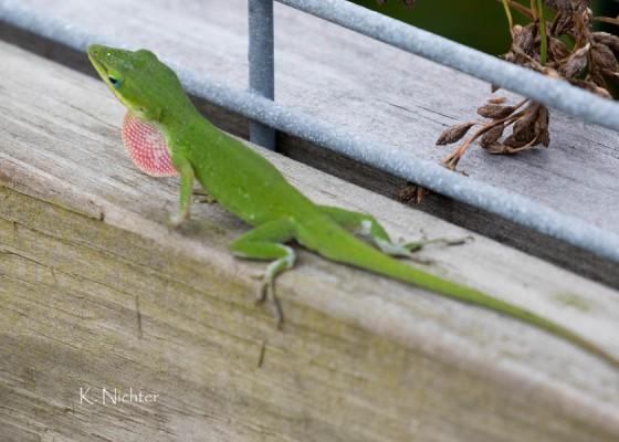 Green anole display